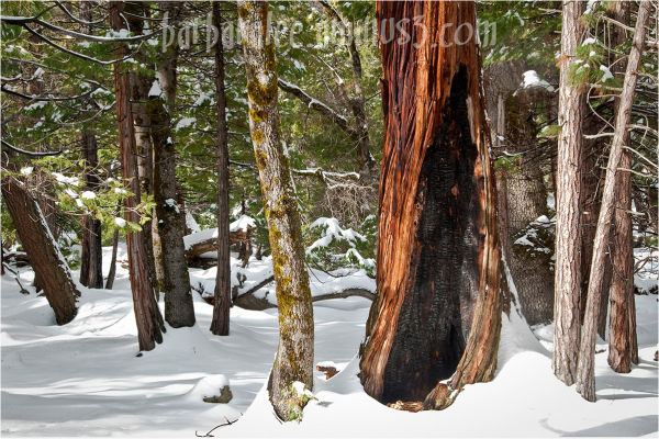 Yosemite Treescape near Lower Yosemite Falls