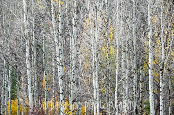 Nude Aspens with Color Peeking Through