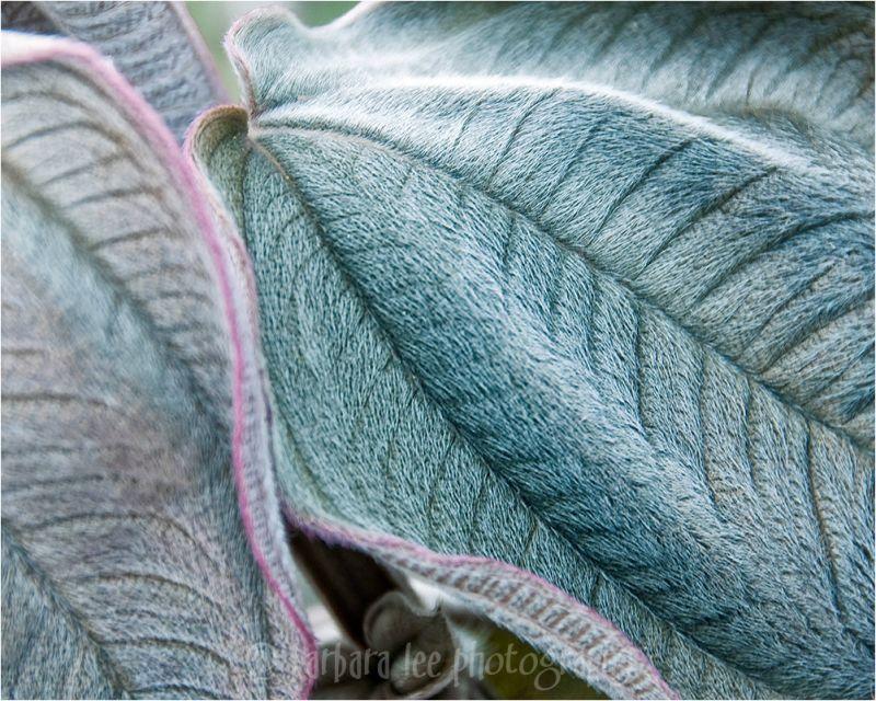Velvety Leaf Texture