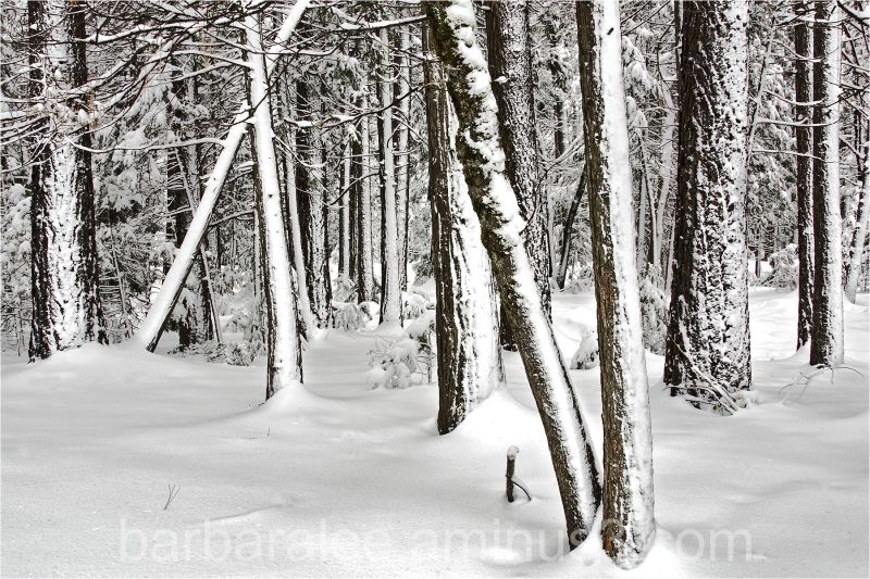 Among Snowy Trees - Yosemite