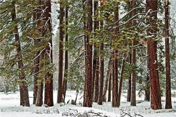 Cedars in the Snow - Yosemite