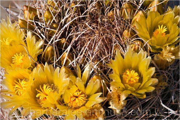 Barrell Cactus Blossoms, Anza Borrego