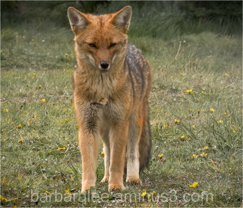 Patagonian Red Fox