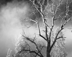 Yosemite Trees in the Fog