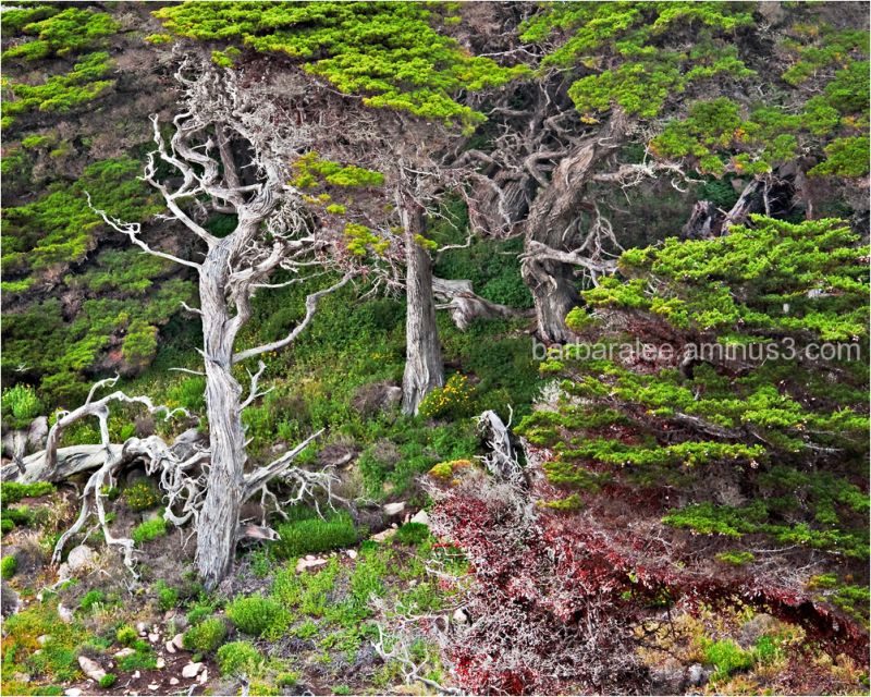 Cypresses at Point Lobos, Carmel, California
