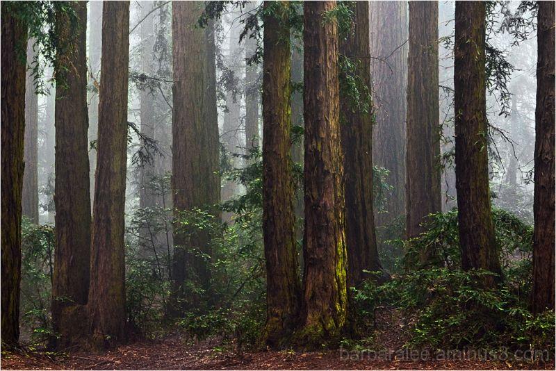 Foggy Redwood Grove