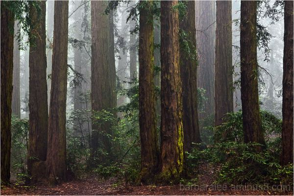 Foggy Redwood Grove