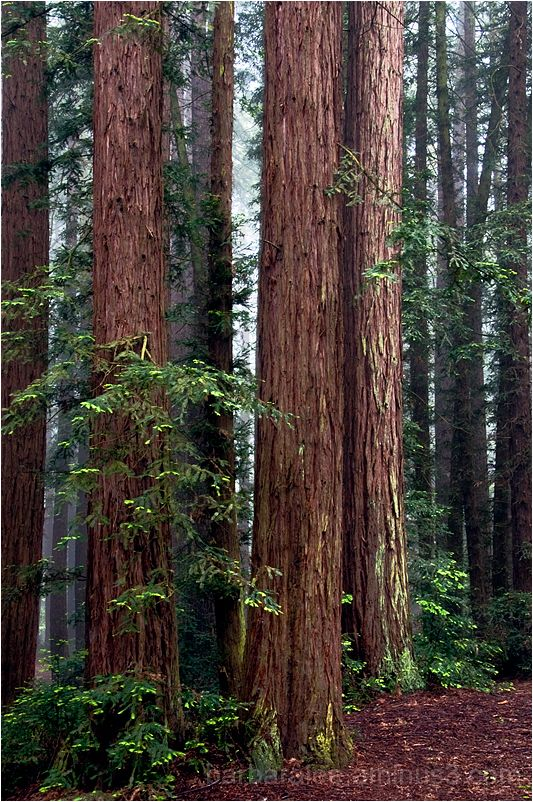 Tall Redwoods in the Fog