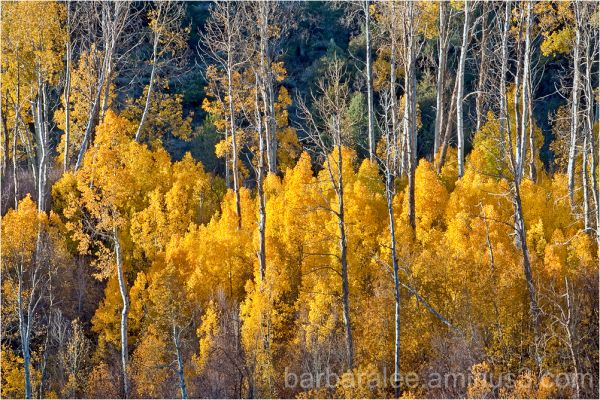 Aspens, Monitor Pass, California Sierras
