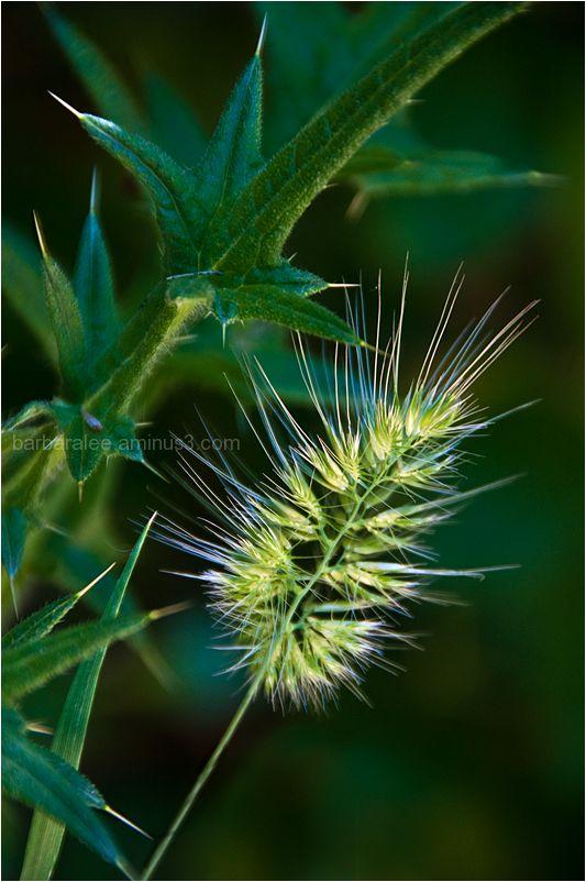 Weed Seed Head