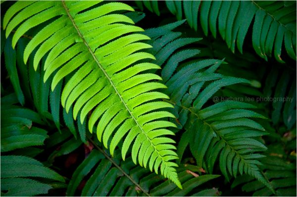 Sword Fern Green