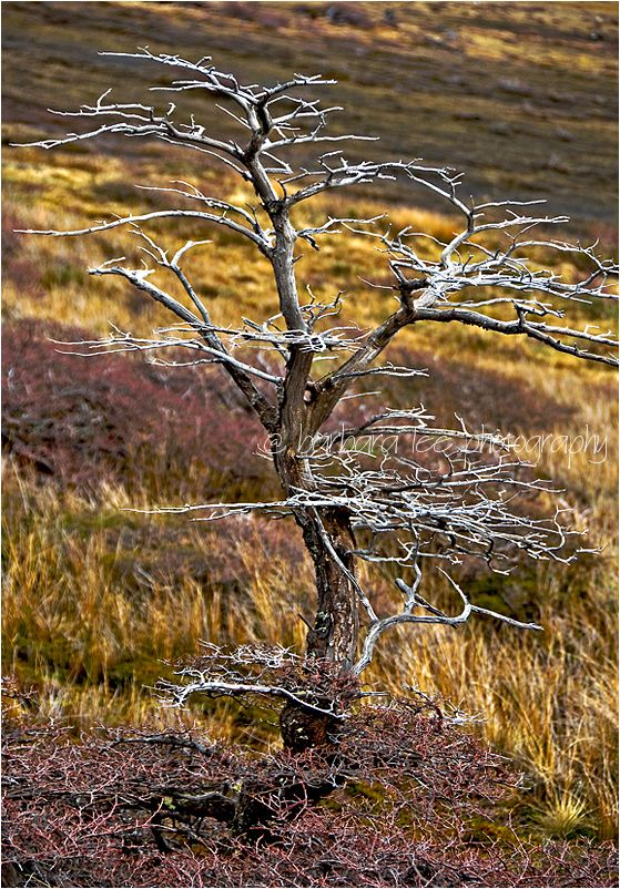 Dead Tree in Patagonian Tundra