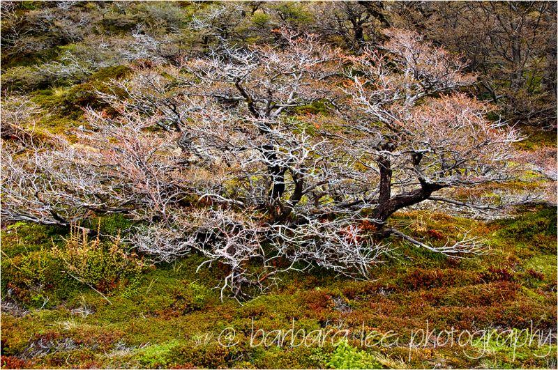 Patagonian Shrub