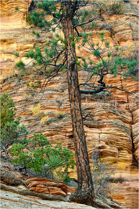 Zion High Country Pines and Sandstone