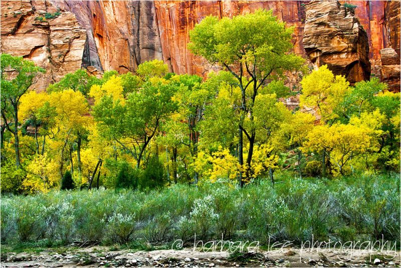 Canyon Cottonwood in Zion Canyon