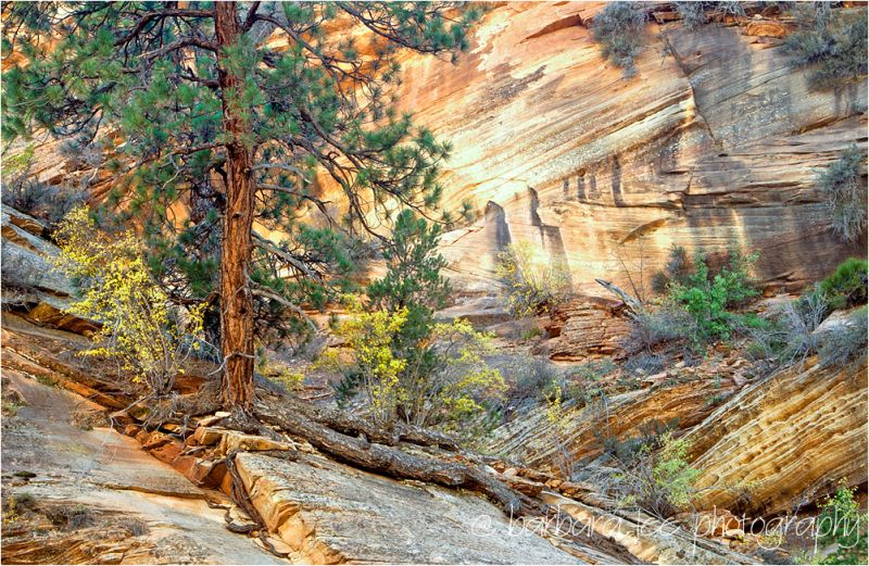 Zion High Country Pine Tree