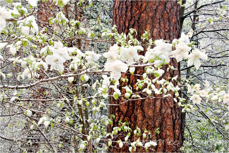 Snowy Dogwoods in Yosemite Valley