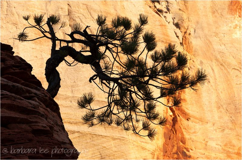 Silhouetted Bonsai Pine Tree Zion National Park