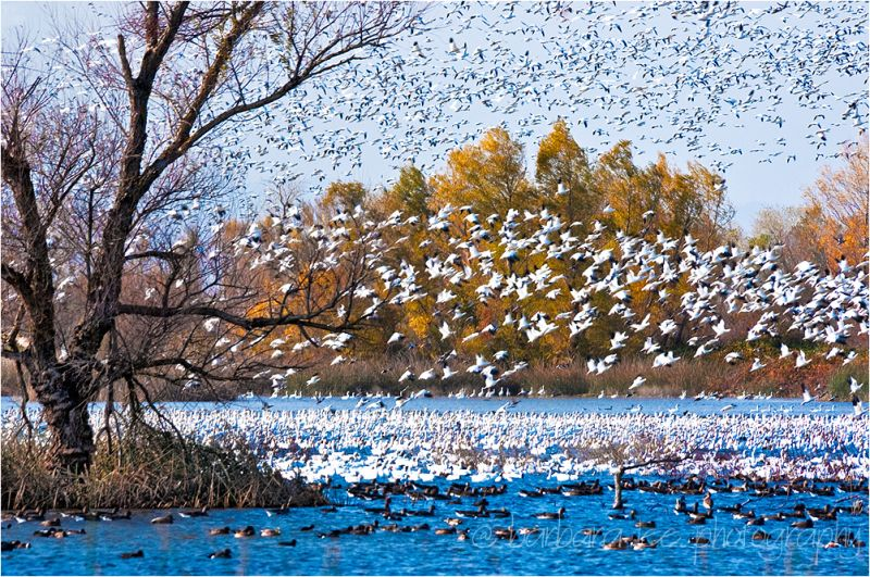 Snow Geese Lift Off in Sacramento Wildlife Refuge