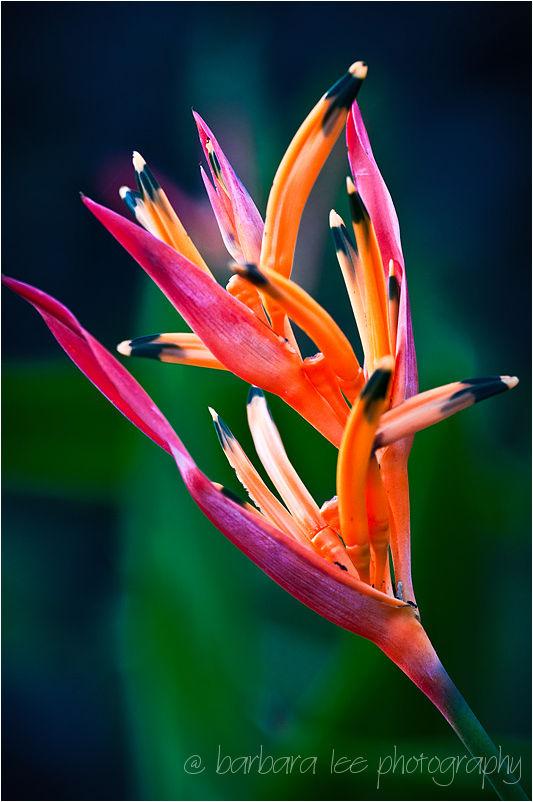 Hawiian Flower