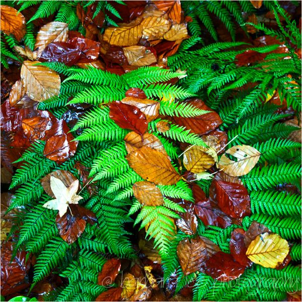 After the Rain - wet fern and fall leaves