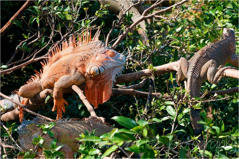 Costa Rican Iguanas