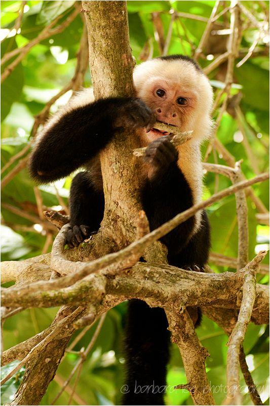 Capuchin White Faced Monkey in Costa Rica