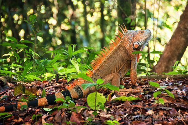 Male Iguana Showing Mating Coloration