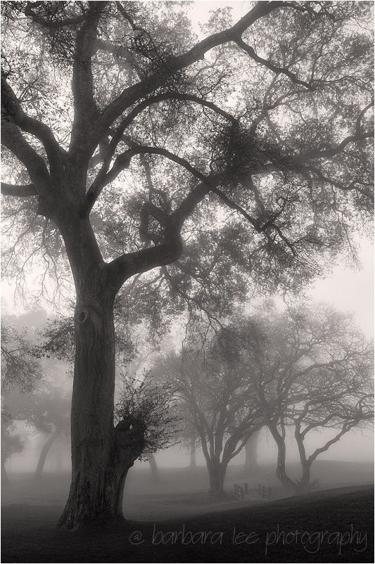 Foggy Oaks