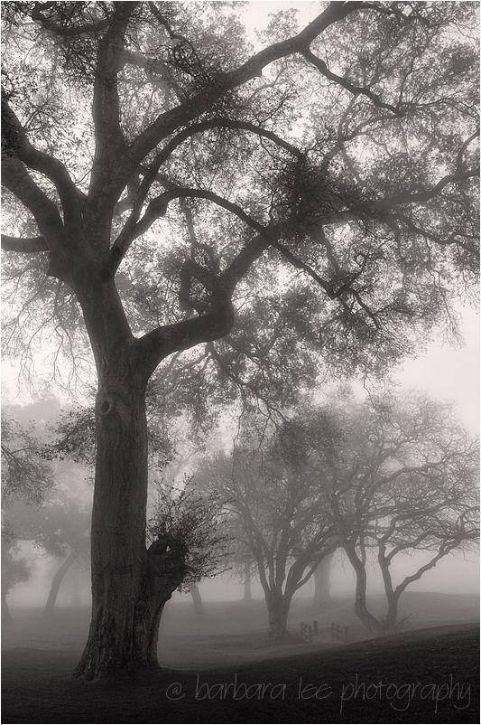 Foggy Oaks