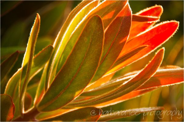 Backlit Protea