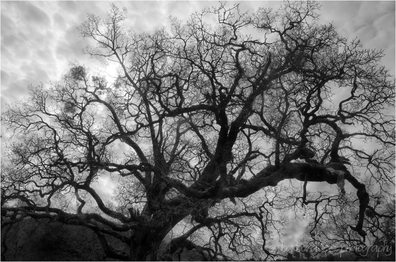Diablo Oak with Clouds