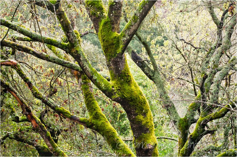 Spring Comes to Trees in Redwood Regional Park