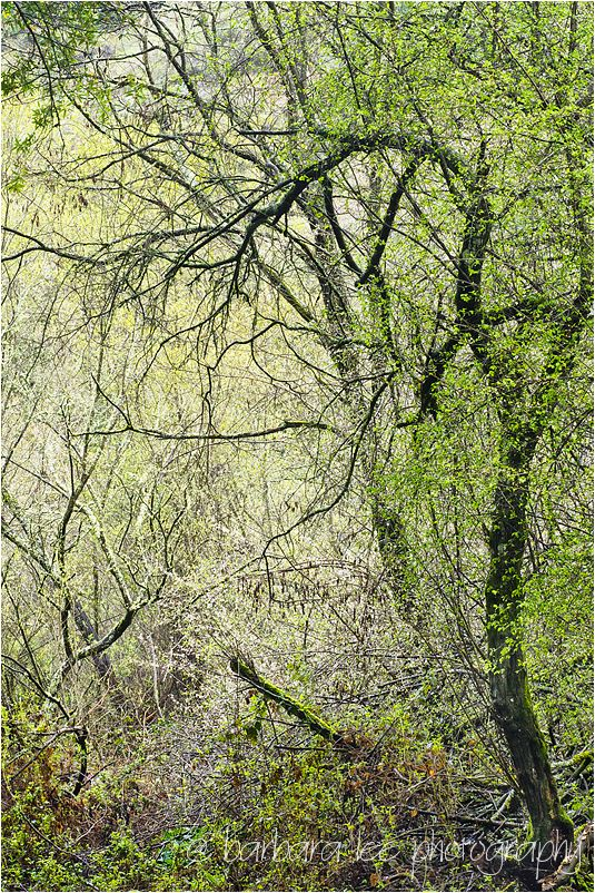 Mossy Spring Trees in Redwood Regional Park