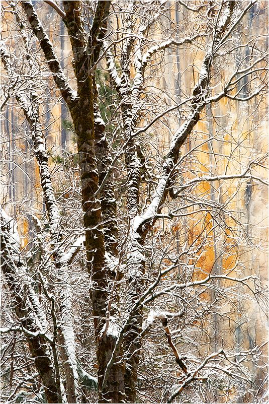 Winter Tress with El Capitan in Yosemite