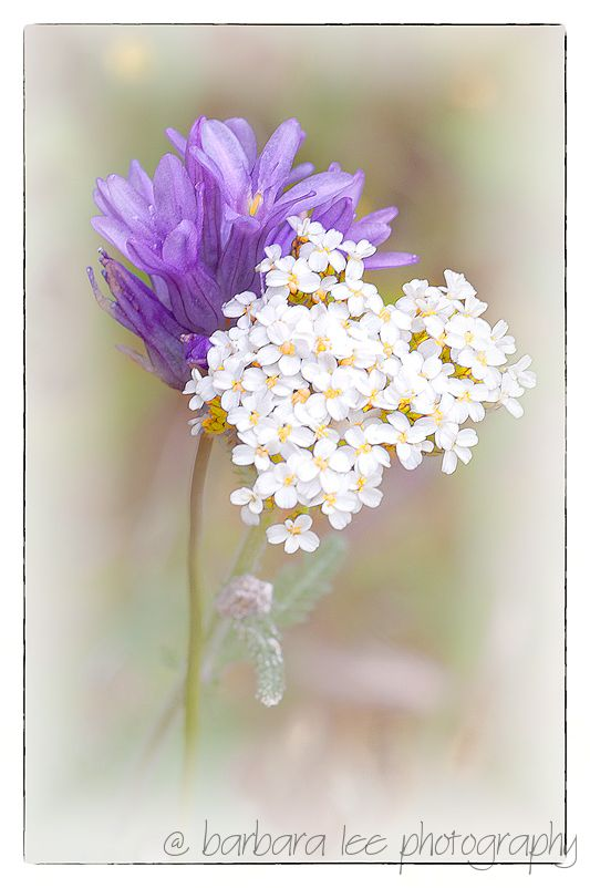 Abstract Wildflowers with Bluedick