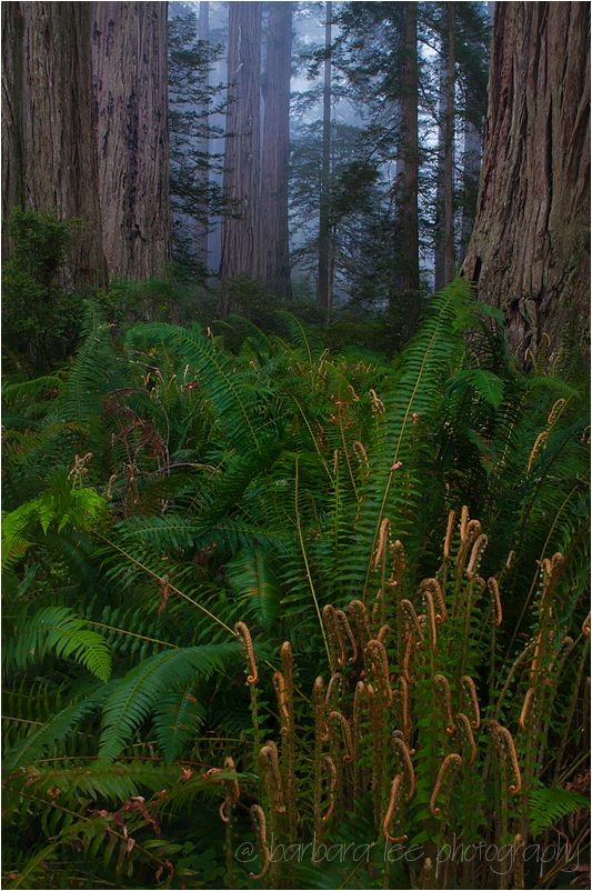 Unfolding Ferns, Redwood National Park