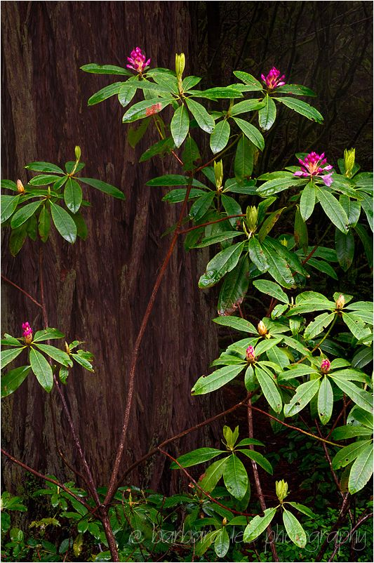Redwood and Rhododendrons