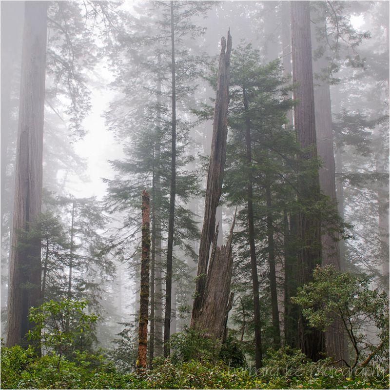 Redwood National Park Redwood Trees