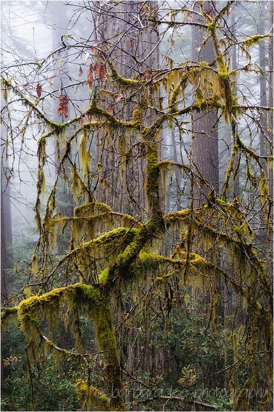Tangled Moss with Redwood Trees