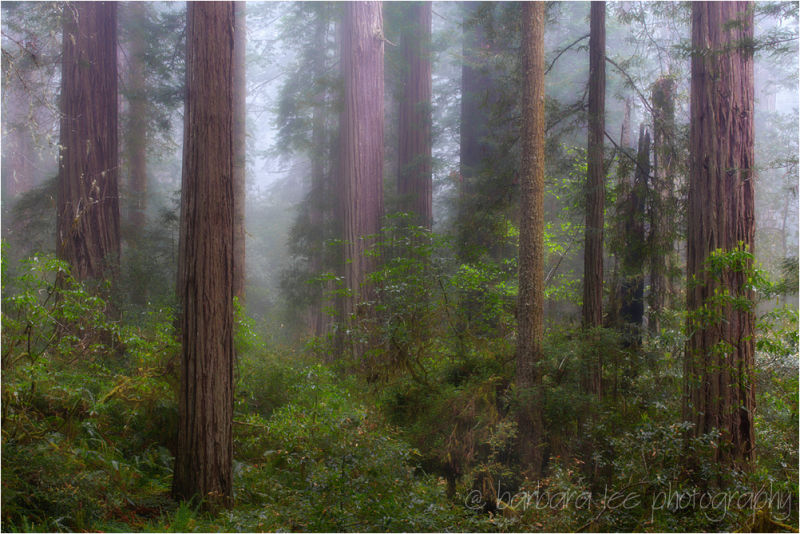 Foggy Redwood Grove, Redwood National Park