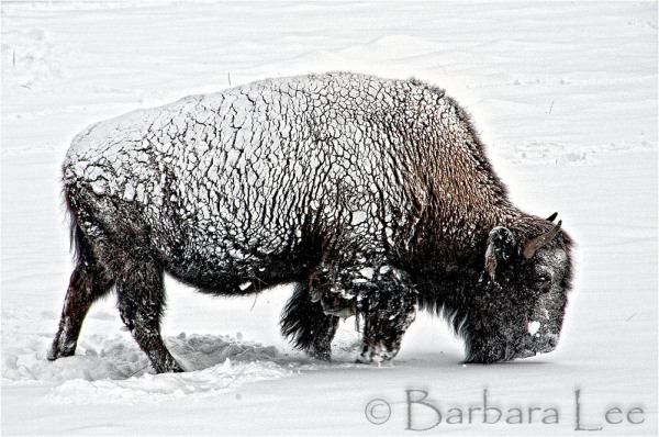 Yellowstone Winter Bison