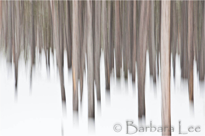 Yellowstone lodgepoles winter abstract