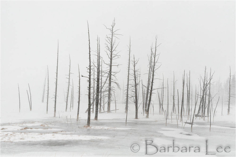 Yellowstone winter landscape with snow and trees