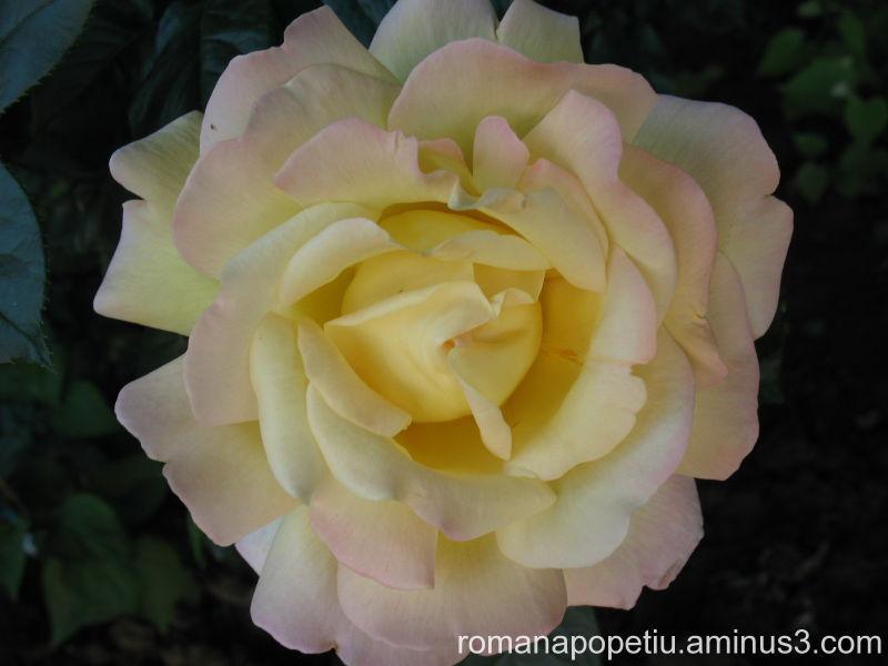 Trandafir...