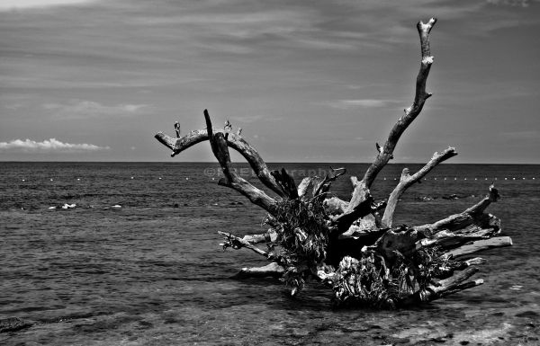 A dead tree cast on the shore.