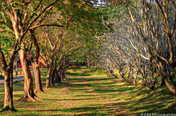 Trees lines up in a path in UP-Diliman.