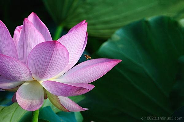 Lotus & Bee