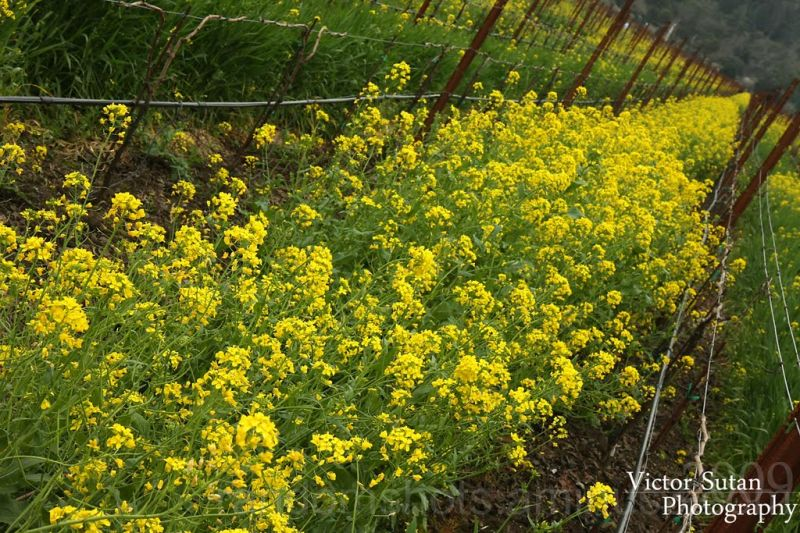 Mustard Flower Festival