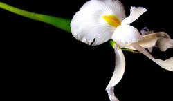 lliri lírio iris aniversari cumpleaños birthday